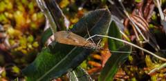 ANWR Caddisfly ? (Bonnie Ott) Tags: anwr arcticnationalwildliferefuge alaska caddisfly