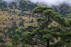 (Teruhide Tomori) Tags:       aboupass mountain landscape gifu nagano r158 chbusangakunationalpark tree nature japan forest mist autumn   fog rain  okuhida