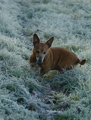 49/2 Warm heart (jump for joy2010) Tags: uk england somerset weather freezing frost 3degreesintheshade dogs terrier 52weeksfordogs week49 small brown chum charlie jackrusselldachshund jachshund november 2016