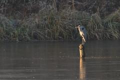 DSC_2851.jpg (Saztul) Tags: bird heron reiher wildlife nature natur vogel emstek niedersachsen germany de