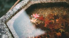(stanley yuu) Tags: maple natural nature japan kansai kyoto fall