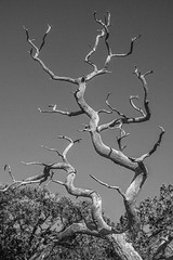 twisted (jimmy_racoon) Tags: 70200 f4l is canon 5d mk2 chiricauhua mountains chiricahua arizona bw desert landscape nature tree twisted 70200f4lis canon5dmk2 chiricauhuamountains