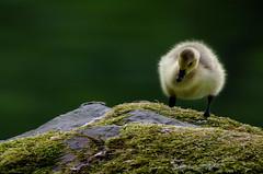 Frhjahr (Sakerfalke) Tags: sakerfalkefotografie kanadagans kken birds outdoor frhjahr