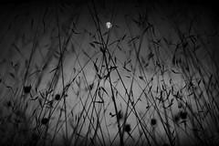 UNA LUNA (una cierta mirada) Tags: moon luna landscape bnw blackandwhite nature fullmoon silhouettes windy wind