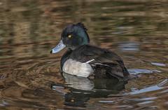 Tufted Duck (R22GMS) Tags: ducks duck waterfowl wildbirds birds water rivers lakes bushy park