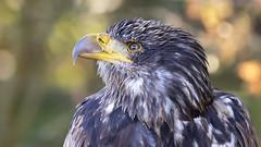 Bald Eagle II (michel1276) Tags: adler weiskopfseeadler eagle bird birdofprey vogel greifvogel baldeagle