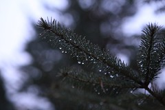 focal pointe (_sydneyjones) Tags: focal pointe pretty outdoors wet rain puremichigan michigan pine tree