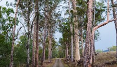 smooth-barked apple gums (dustaway) Tags: trees treebark trunks myrtaceae angophoraleiocarpa smoothbarkedapplegum australiantrees loganvalley sequeensland queensland australia dirtroad