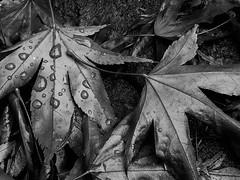 The fallen (marktmcn) Tags: fallen leaves autumn autumnal fall rain drops raindrops acer japanese maple blackandwhite monochrome