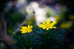 ILCE-6000-20161129-06579 // ---- (Otattemita) Tags: 50mmf28 carlzeissjena carlzeissjenatessar50mmf28 florafauna flower nature plant wildlife sonyilce6000 ilce6000 sony