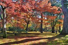 Kenroku-en Fall Colors (jpellgen) Tags: japan japanese nihon nippon  ishikawa kanazawa kenrokuen garden zen     asia nikon 2016 fall autumn sigma 1770mm d7000 leaves leaf momiji koyo maple november travel honshu park nature scenery