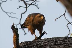 Savanna Hawk With Lizard (2) (Barbara Evans 7) Tags: savanna hawk with lizard pantanal brazil barbara evans7