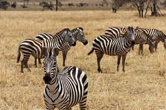 Hey! (Nicolas Bousquet) Tags: zebra zebre savane savannah serengeti tanzania tanzanie gamedrive safari herd