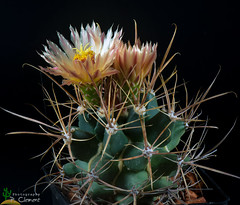 Ferobergia (clement_peiffer) Tags: ferobergia d7100 105mm nikon cactus fleurs flower cactaceae succulent peifferclement flowerscolors