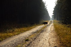 paths and roads (JoannaRB2009) Tags: forest woods path road nature landscape view tree trees animal wildboar light sunlight mist for humid wet dzkie lodzkie poska poland weather