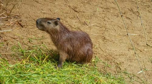 Capybara in the Paramaribo Zoo
