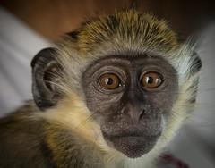 Baby face (Notkalvin) Tags: monkey vervet europeangreen notkalvin stkitts simian primate mikekline notkalvinphotography animal caribbean worktrip