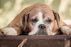 Resting time (Vinicius_Ldna) Tags: brazil dog pet love brasil canon 50mm relaxing boxer nina care caress londrina relaxando 10137
