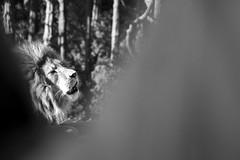 Wellington Zoo (lizziesnowphotography) Tags: newzealand cats animals zoo bokeh lion wellington felines roar aotearoa sanctuary bigcats mane zooanimals magestic