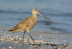 Tip Toe Through the Seashells (Happy Photographer) Tags: ocean california bird seashells wildlife marbledgodwit amyhudechek