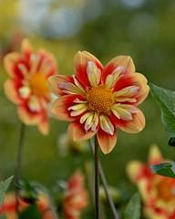 solar flare (armykat) Tags: dahlia plant flower gardens outdoor longwoodgardens solarflare natureycrap kennettsquarepennsylvania