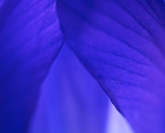 Iris Abstract (Grazerin/Dorli Burge) Tags: blue iris abstract flower macro purple olympus petal e500