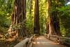 Muir Woods (cabomhn) Tags: california trees woods san francisco long exposure marin nd headlands redwoods muir californian density neutral