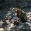 That Kind of Day (Bloui) Tags: animal zoo relaxing august québec macaques japanesemacaque 2015 macacafuscata stfélicien borealie saintfélicien macaquejaponais zoosauvage eos7d boréalie