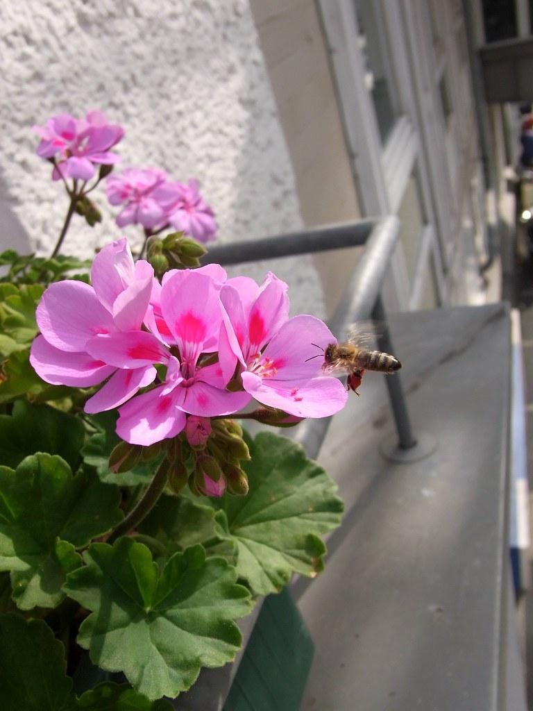 the world's best photos of flower and geranien - flickr hive mind, Gartengerate ideen