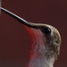 Hummingbird Close up