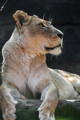 Lioness (ArcticZeppelin) Tags: wild nature animals wildlife lion bigcat predator mammals carnivore wildanimals pantheraleo