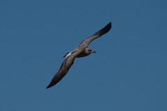 IMGP1432 Gull (? Lesser- Black-Backed?), Cley Marsh, September 2015 (bobchappell55) Tags: wild bird nature wildlife gull norfolk flight reserve trust marsh aquatic cley