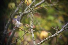 Roitelet huppé (Mariie76) Tags: regulus animaux arbre oiseaux pommier regulusregulus huppé roitelet passereaux roitelethuppé