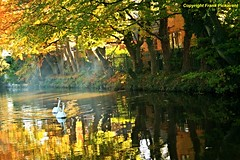 Swans in Harmony (Lord Skully) Tags: uk autumn trees england house mist building tree male fall nature water leaves female rural pen canon fence reflections eos golden countryside swan october europe colours britishisles northwest unitedkingdom britain outdoor n peaceful sunny waterbird nopeople foliage serene colourful mirrorimage waterfowl naturalbeauty cob picturesque autumnal waterway watercourse redbrick muteswans synch wildfowl lancs canalside synchronizedswimming anatidae orangebill aquaticbird russets redrosecounty whiteplumage decidioustrees temperateseason frankpickavant