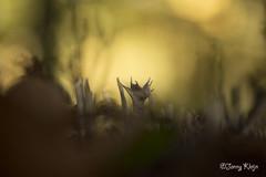 Gewei Zwammetjes (Janny.K) Tags: macro ilovenature olympus em1 zoomnl photofacts fotografienederland leica45mmf28 goodclik duchnature
