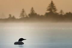 Gavia Immer (Renald Bourque) Tags: lake collier eau à lac brouillard loon brume huard huart huardacollier