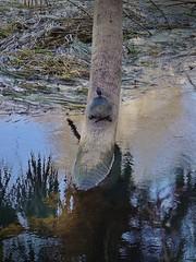 Swamp Walk at Silver River State Park (johnandmary.F) Tags: ocalafl silverspringsstatepark