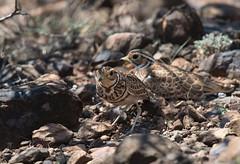 Heuglin's courser (Lluniau Clog) Tags: kenya greatriftvalley lakebaringo threebandedcourser rhinoptiluscinctus heuglinscourser