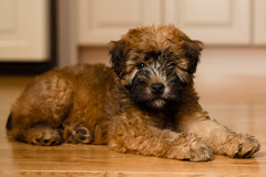 PUPPY-8912 (J_Nyman) Tags: male puppy rudy terrier wheaton
