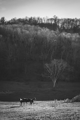 Tennessee Hills 3 (ScottMPhotos1) Tags: trees sunset horses blackandwhite mountains nature landscape tennessee hills equine lewisburg canont3i 24105mmeff4