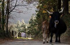 DSC_8602 (adrizufe) Tags: autumn nature animals ilovenature nikon cows ngc otoo basquecountry arrazola udazkena atxondo durangaldea nikonstunninggallery aplusphoto d7000 adrizufe adrianzubia