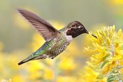 Feeding time! (bmse) Tags: flowers male canon feeding 7d l f56 annas salah bladderpod 400mm humingbird bmse baazizi