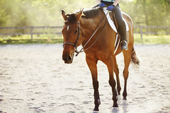 (suzcphotography) Tags: summer horse animal canon 50mm riding jumper hunter equestrian equine t3i