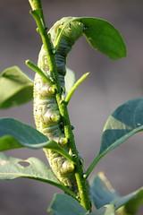 IMG_1716 (VjvicH) Tags: chile bug insect la sexta insects caterpillar gusano insecto oruga ligua laligua palqui mandruca