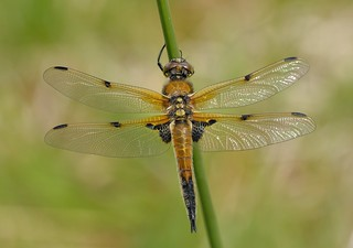 Four-spotted Chaser (Libellula quadrimaculata).