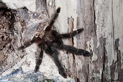 IMG_8965 Calakmul - Psalmopoeus maya femelle (fabianvol) Tags: portrait mexico spider arachnid selva tarantula mexique araa fort araigne arachnida arachnide tropicale mygale arboricole