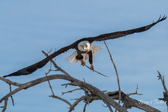Bald Eagle head on. Thornton, Colorado.