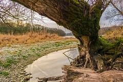 """Biber-Baum"" am Rhein bei Tiengen"