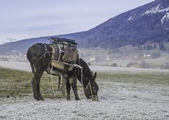 Switzerland Malleray The Shepherd's Donkey (not Buridan's Donkey) (charles.duroux) Tags: flickr nyip panoramio