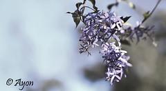 thumb_IMG_1522_1024 (Ayon Mazumder) Tags: flower macro garden landscape bangalore hyderabad jpnagar jonagar